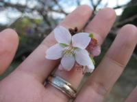 十月桜なるものが11月に咲いてました