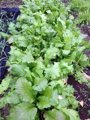 11.30家庭菜園