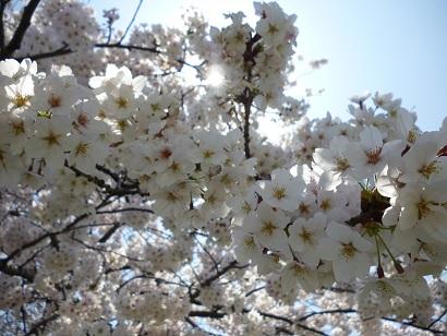 2014の桜
