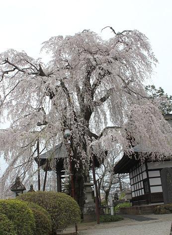 しだれ桜④