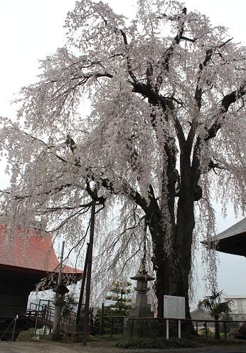 しだれ桜③