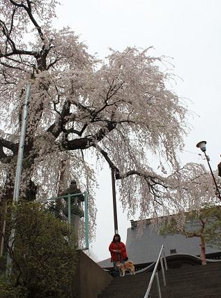 しだれ桜②