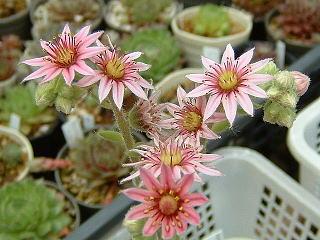 カッパの花