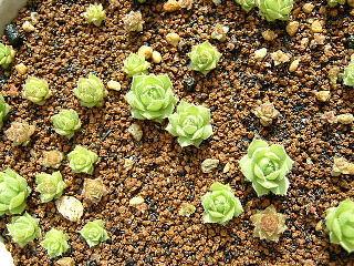 種蒔きセンペル