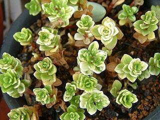 Sedum makinoi variegatum