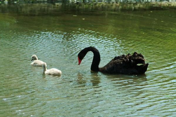 DSCF2457黒白鳥2匹親子