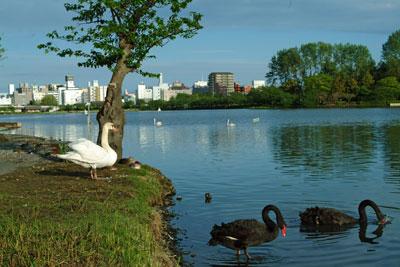 DSCF2149湖と黒白白鳥