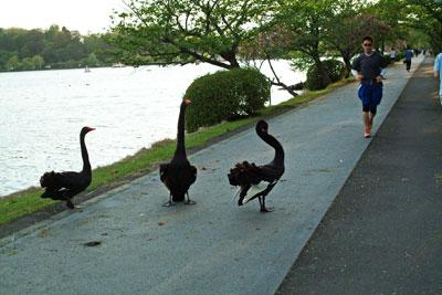 DSCF2168ジョギング黒白鳥
