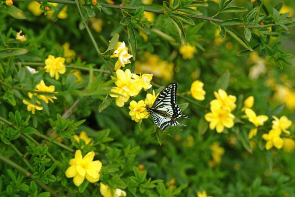 DSCF1751山吹と蝶