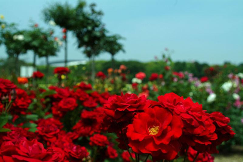DSCF3232薔薇赤