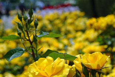 DSCF3233薔薇黄色