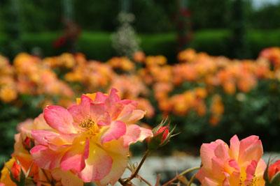 DSCF3236薔薇橙