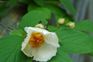 DSCF3403シャラの花