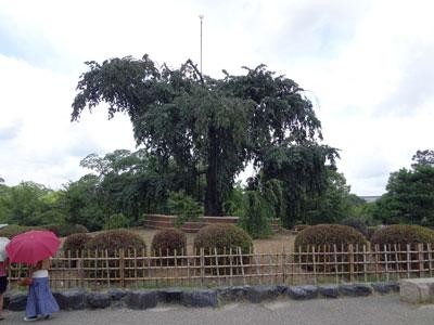 DSC00996円山公園桜