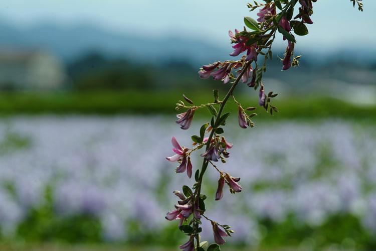 DSCF4523萩の花