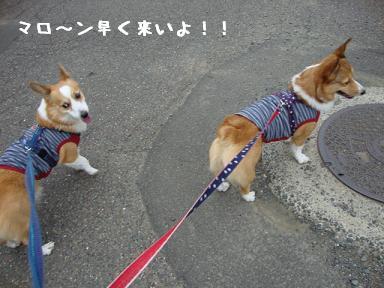 10.3お散歩コーギーズ