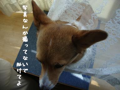 レースカーテンと杏4
