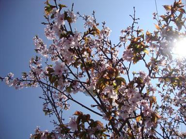 保育園の桜2