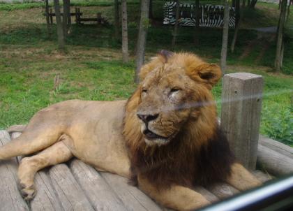 ライオンにはがっかり?