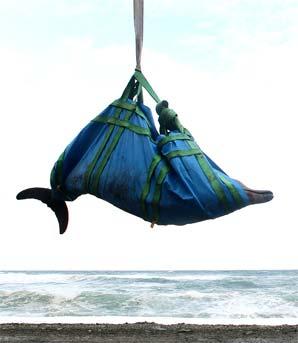 whale calf