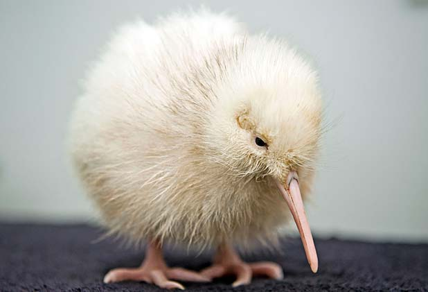 Manukura the rare white kiwi chick