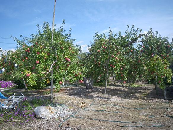 10/18リンゴ園