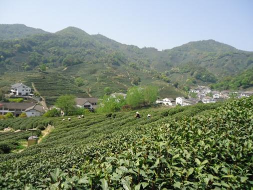 4月の茶園風景