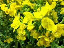 菜の花1convert