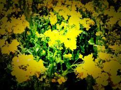 菜の花2convert