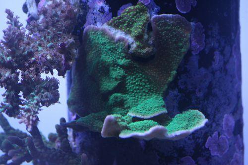 120717フロー管サンゴ