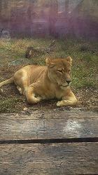 ライオンメス