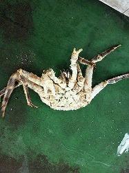 s-タラバ蟹
