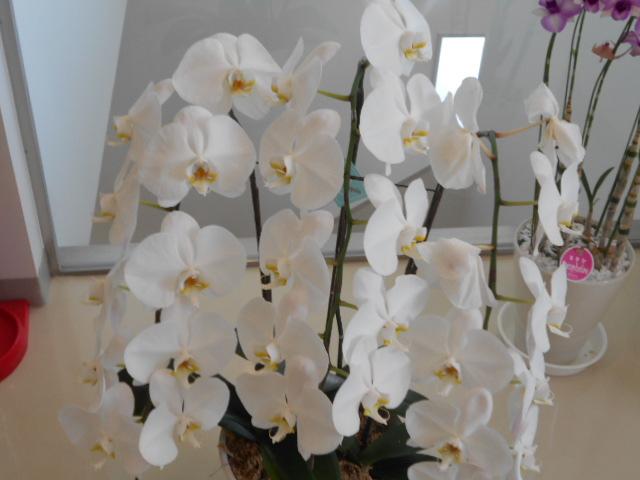 白色胡蝶蘭