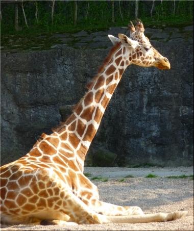 東山動物園 キリン