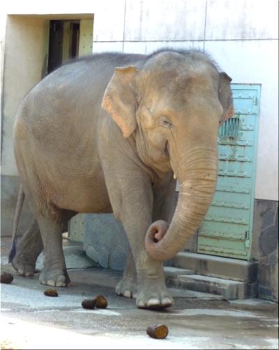 東山動物園 象