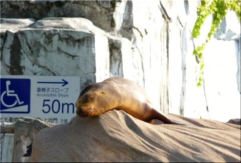 東山動物園 アシカ