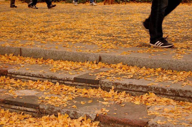 イチョウ階段落ち葉