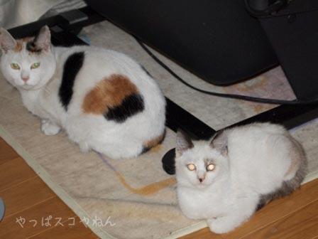 三毛ママとポイントちゃん