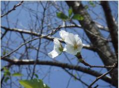 9月の桜 -季節間違えた