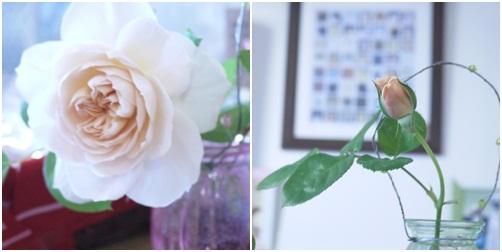 銀太ママの育てたバラ
