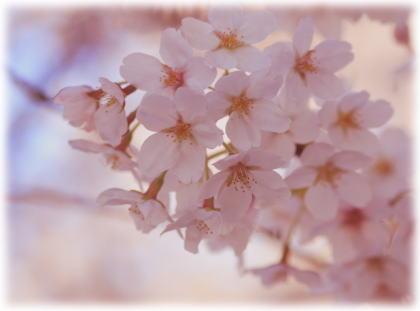 桜の花をバック