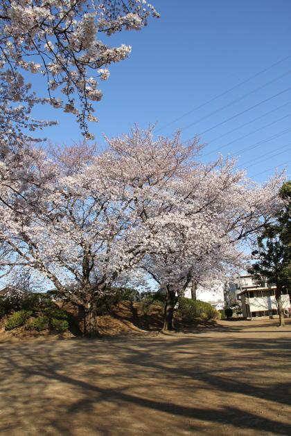 桜の木と影