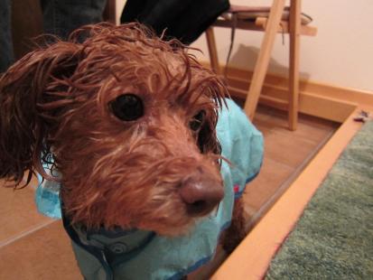 雨に濡れたタフティ