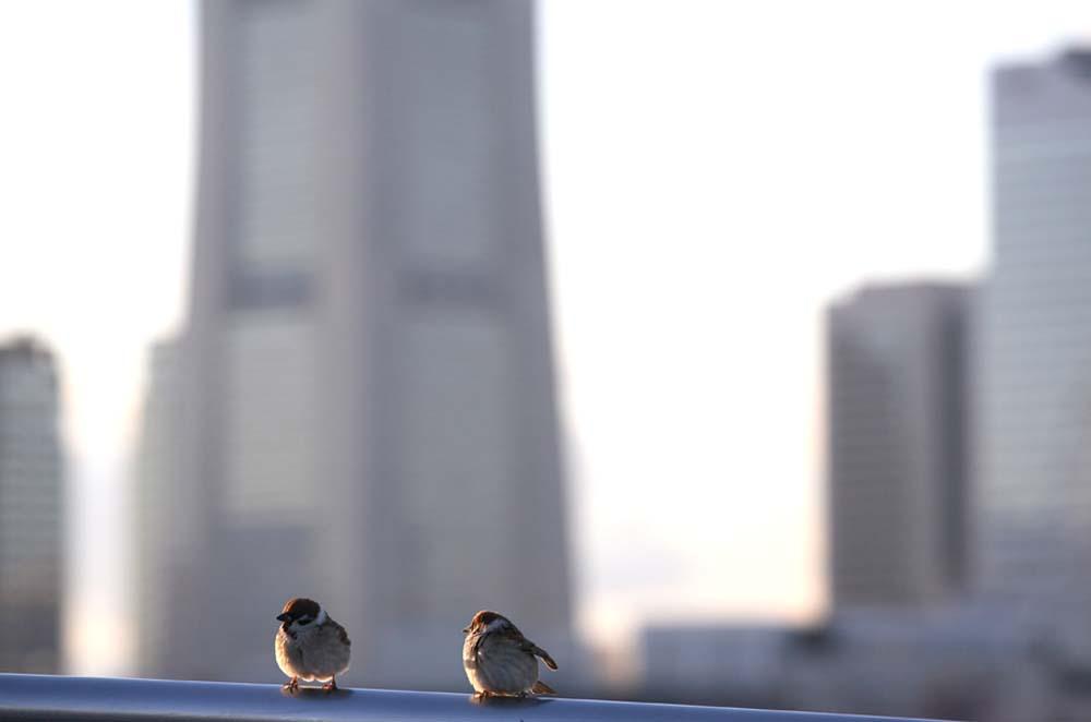大桟橋のスズメ
