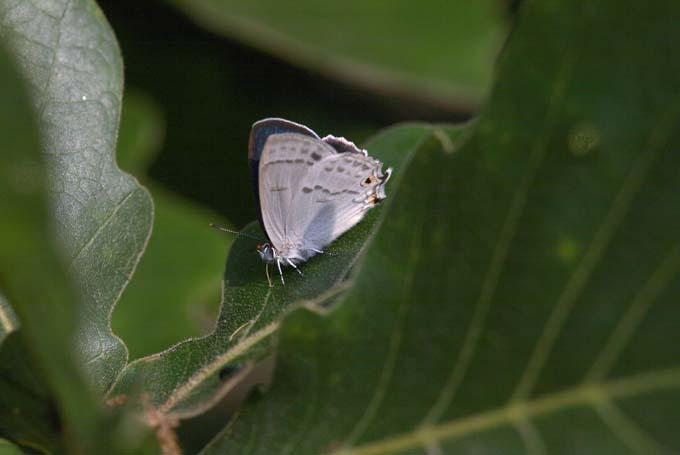 ウラジロミドリ1