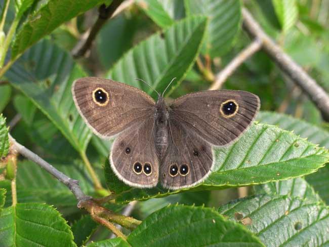 ヒメウラナミジャノメー2 2008.6.14