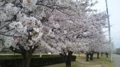 末広公園桜満開?
