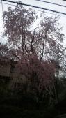 しだれ桜もきれい