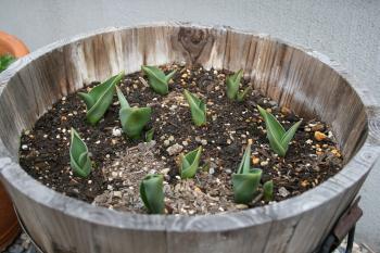 チューリップの芽が出たよ