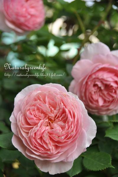 薔薇 ウィリアム・モリス